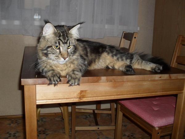 Этому котенку около шести месяцев.  Огромный, что будет дальше?  Мейн кун, maine coon, а иногда и мэйкун.
